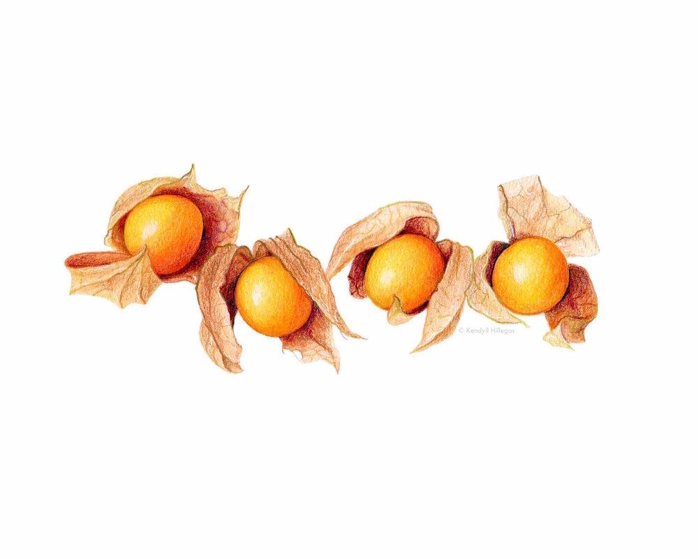 Gooseberries Illustration