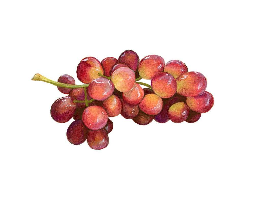 Red Grapes Illustration