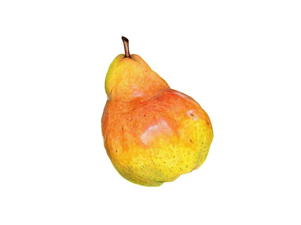 Barlett Pear Illustration