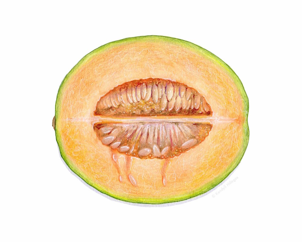 Cantaloupe Illustration