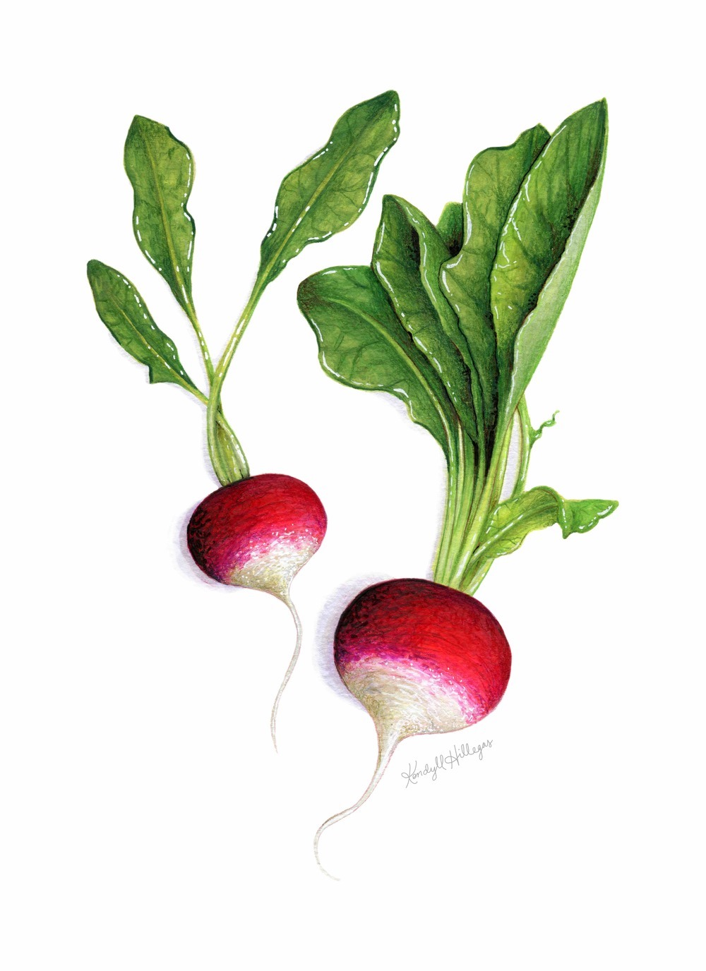 Radish Illustration