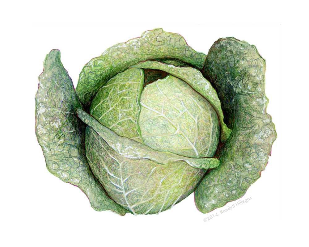 Savoy Cabbage Illustration