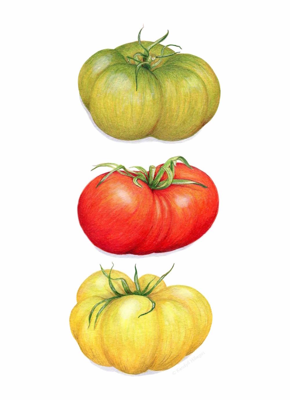 Heirloom Tomatoes Illustration