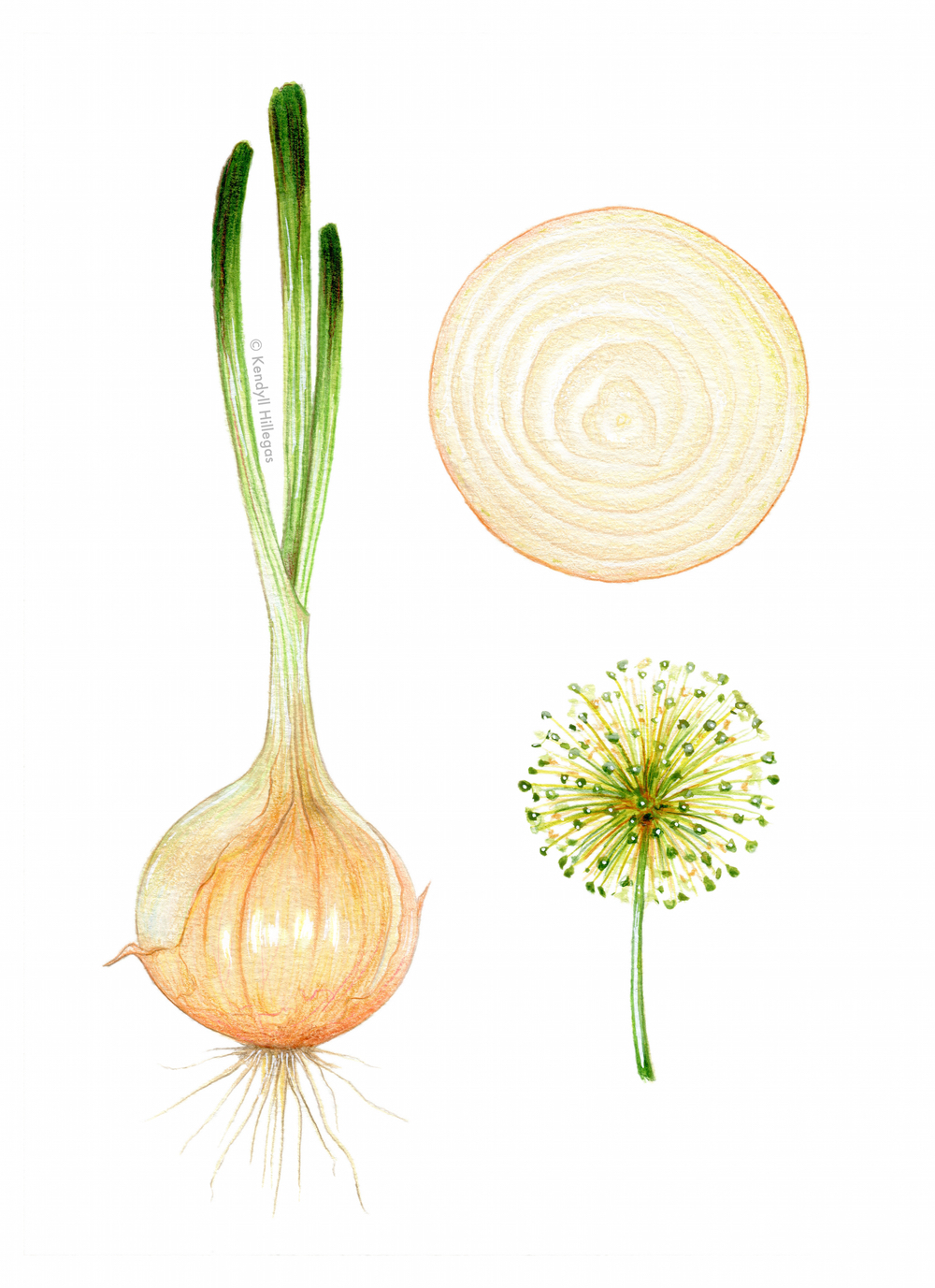 Vidalia Onion Illustration