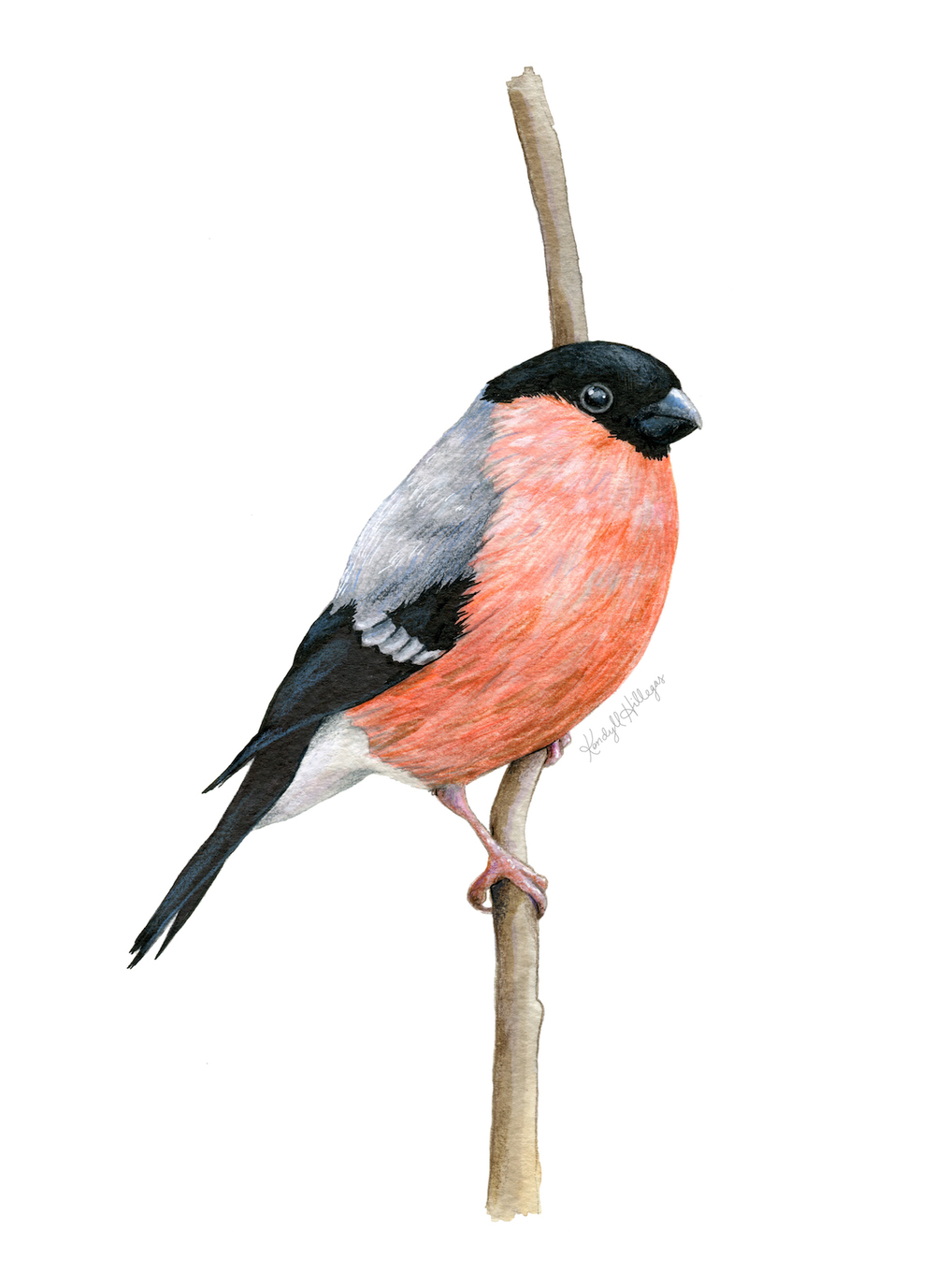 Eurasian Bullfinch Illustration