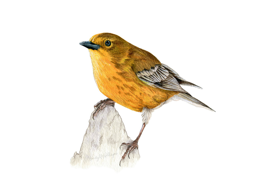 Pine Warbler Illustration