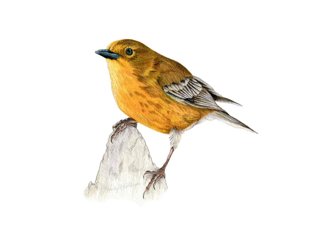 Pine Warbler Illustration