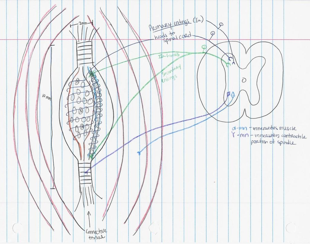 The anatomy of a reflex.  Confusing, to be sure... but pretty when drawn with color pencils :)