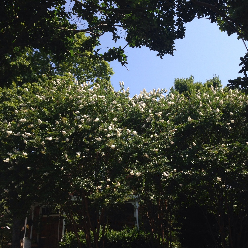 crepe myrtles in my favorite shade. white makes me feel cooler in the heat!