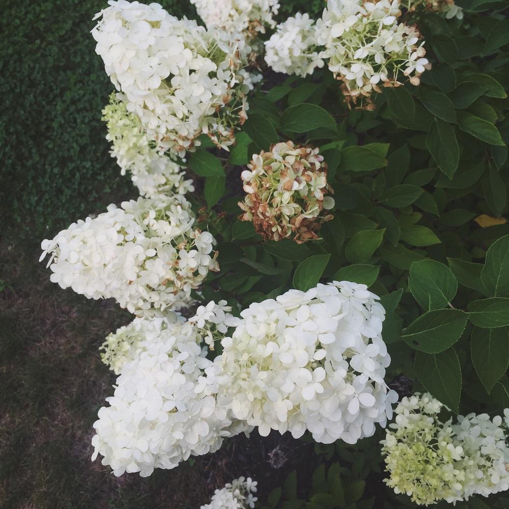 Favorite yard bloom currently