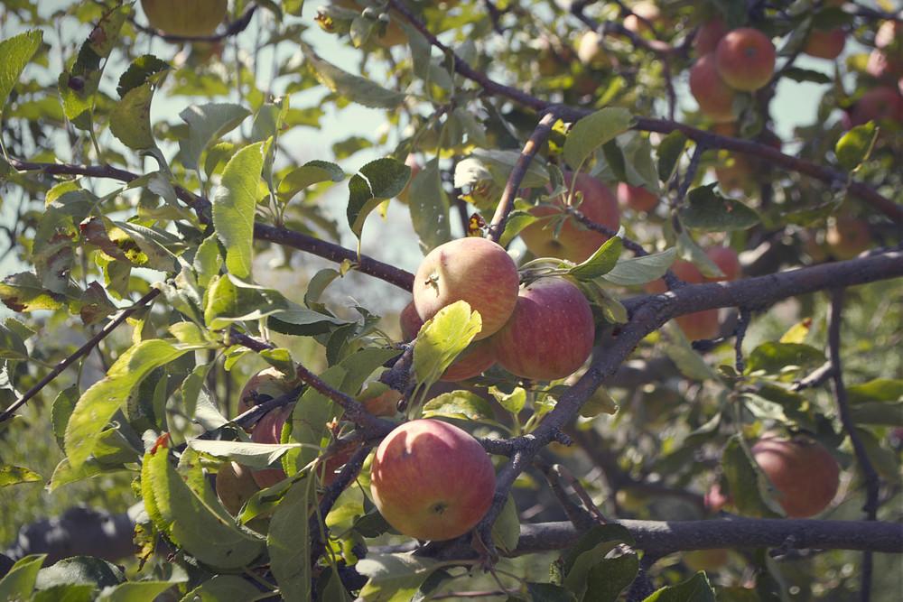 3.apple.jpg