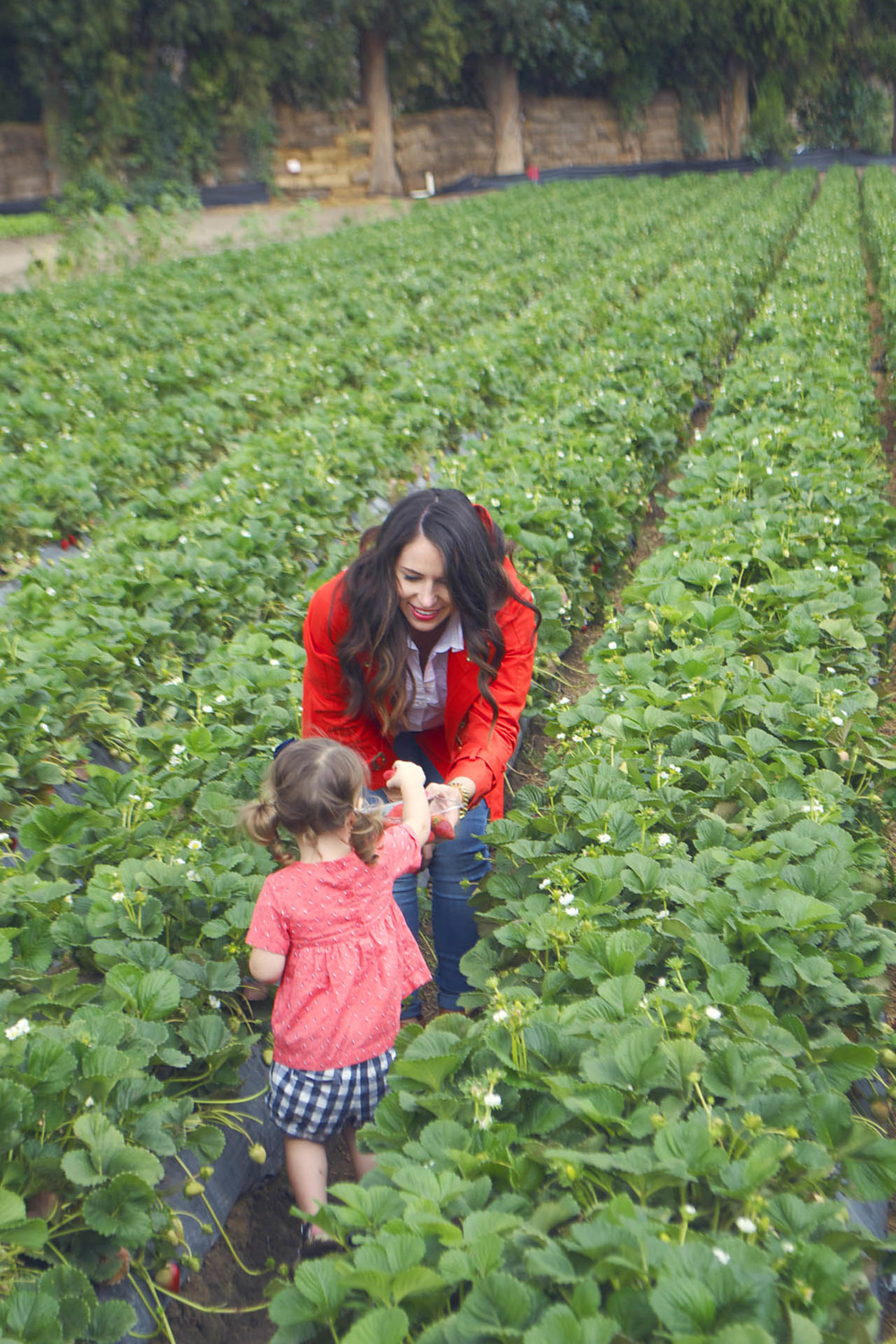 strawberry picking season