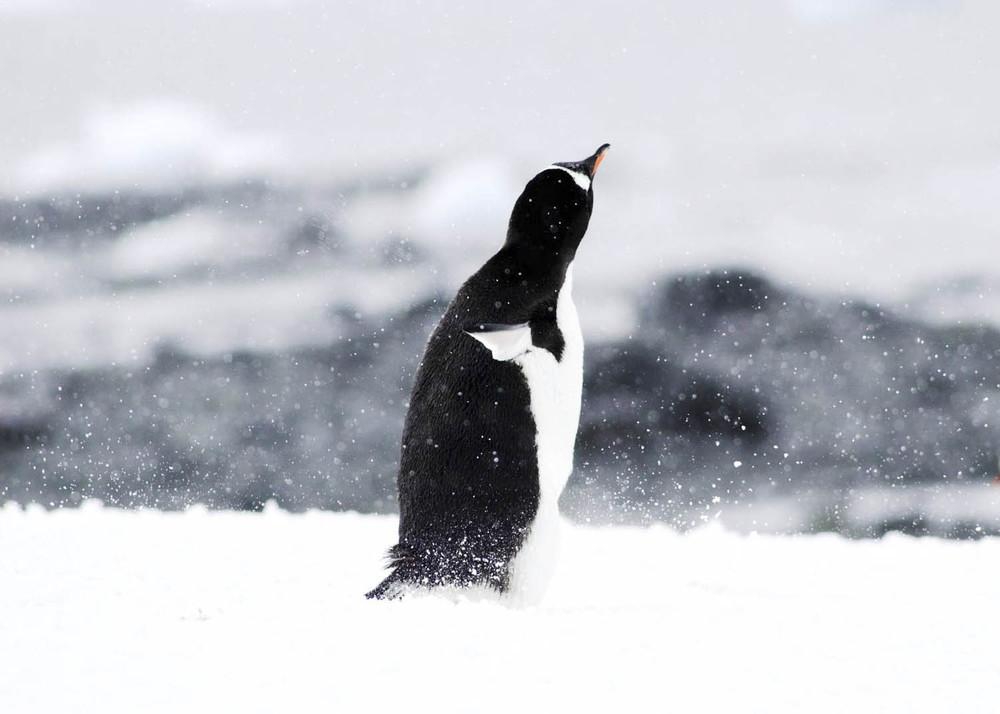 Antártida PINGUI NADAL.jpg