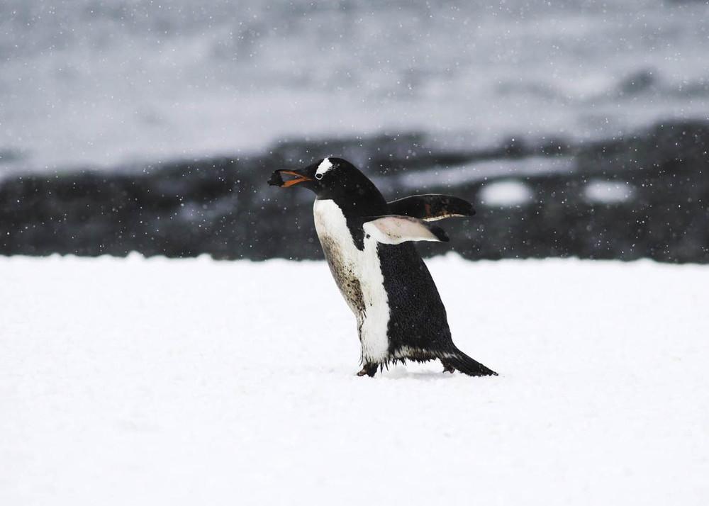 Antártida PINGUI PORTAN A LA BOCA.jpg