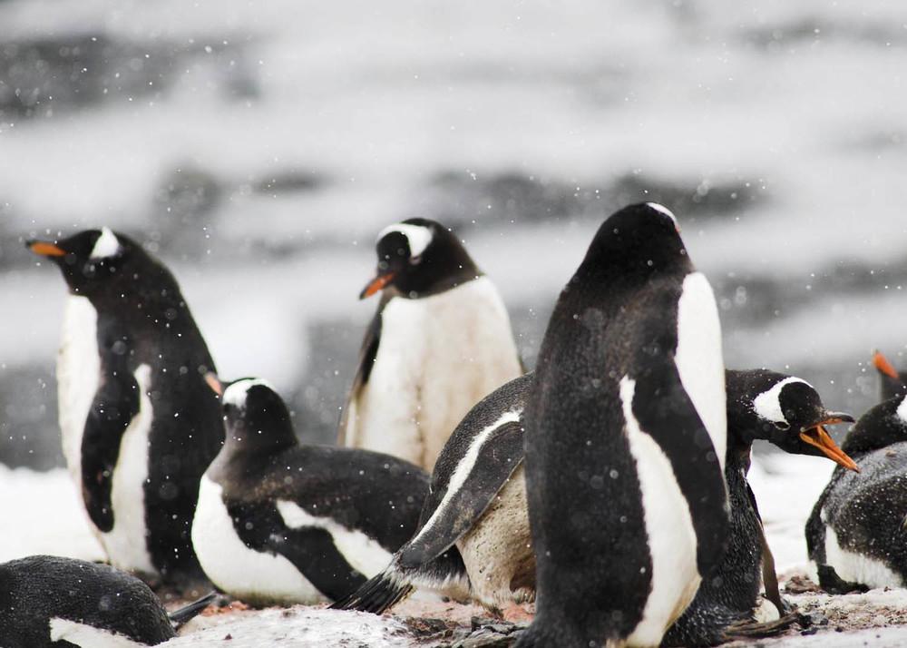 Antártida PINGUINS + .jpg
