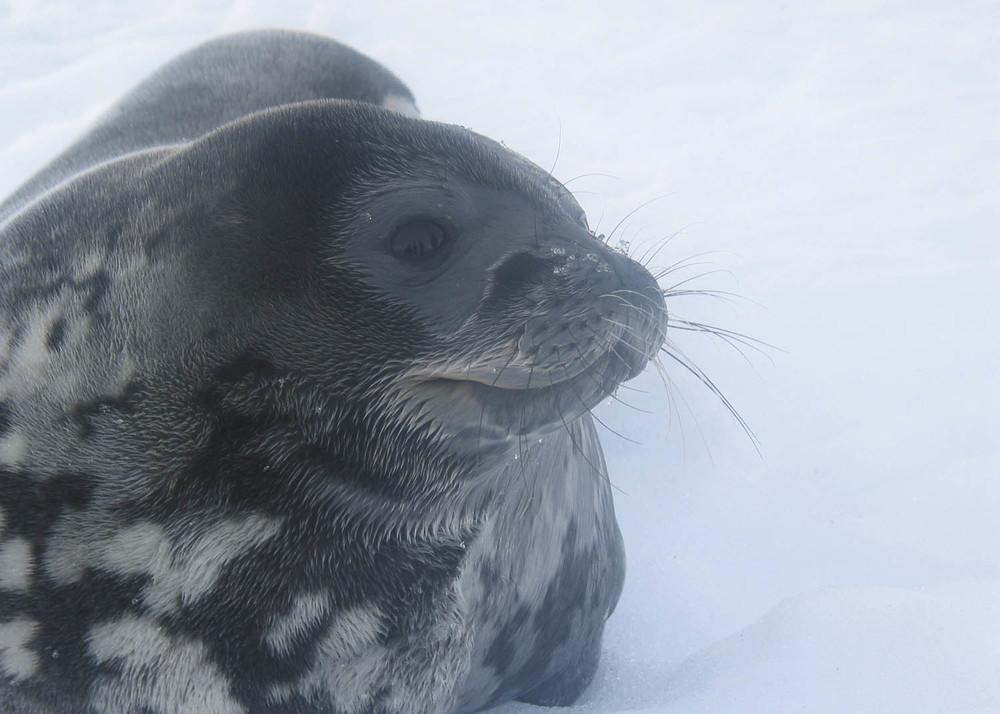 Antártida leon marino.jpg