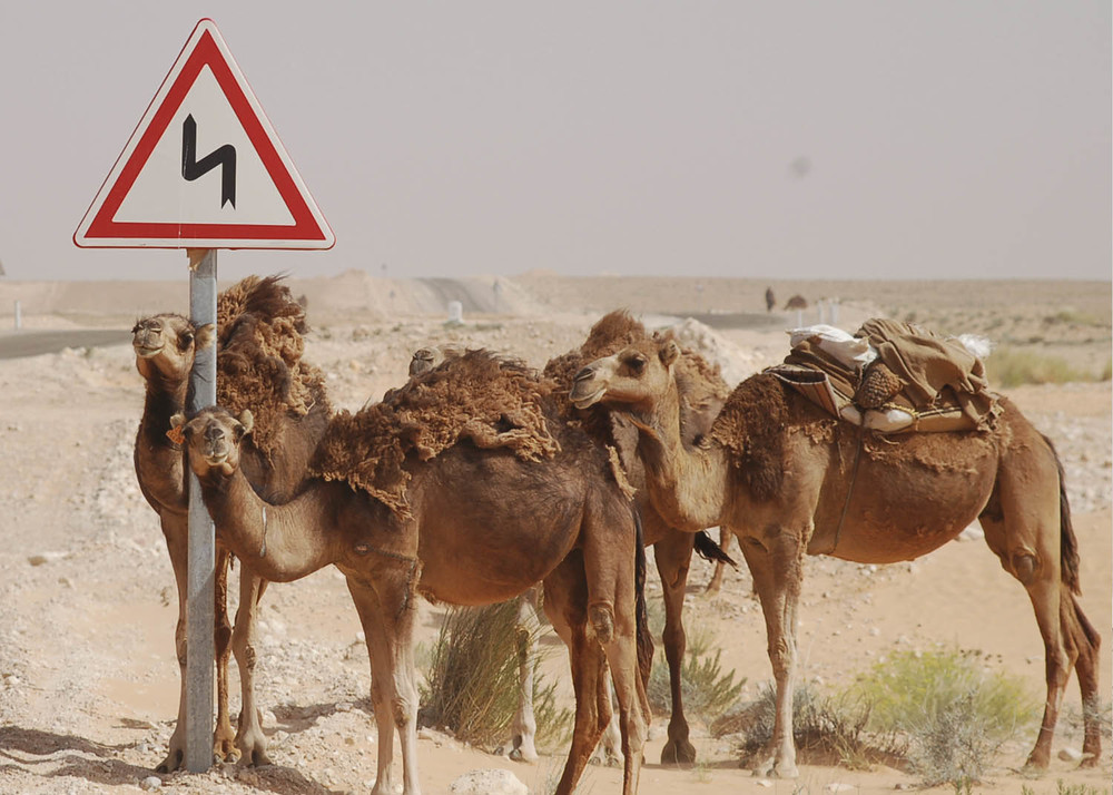 Túnez CAMMELS SENYAL DE TRAFIC.jpg