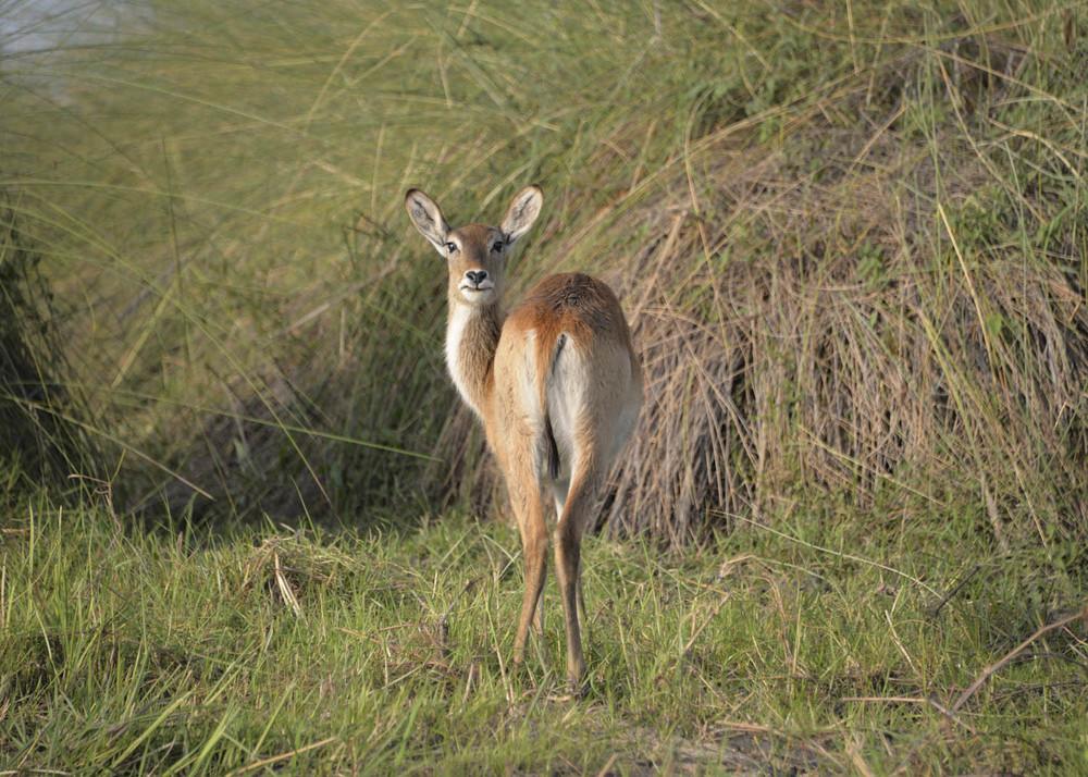Botswana bambi.jpg