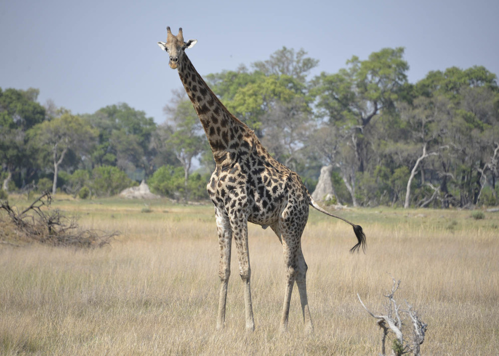 Botswana JIRAFA.jpg