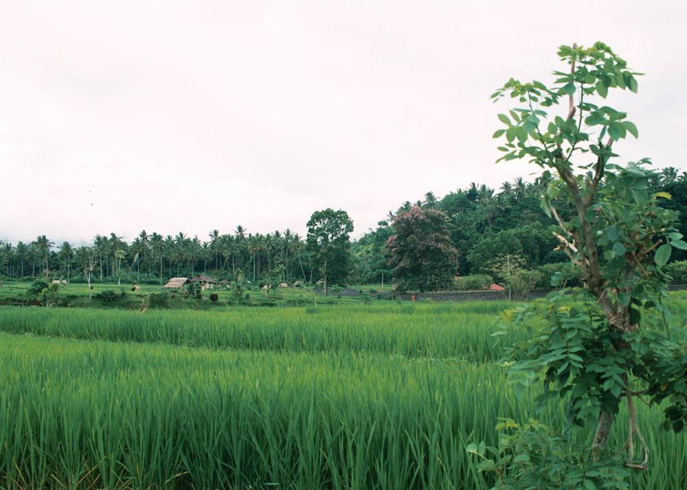BAL arrozal.jpg