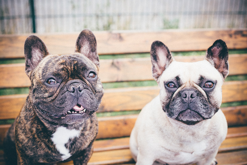 desi+sammy-french-bulldogs-frenchies-couple-love.jpg