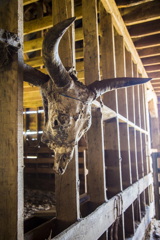 Cow Skull KAC7896.jpg