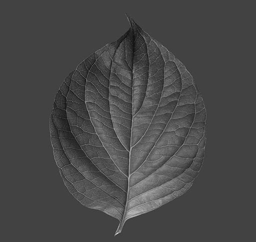 rose_leaf_B_v01.jpg
