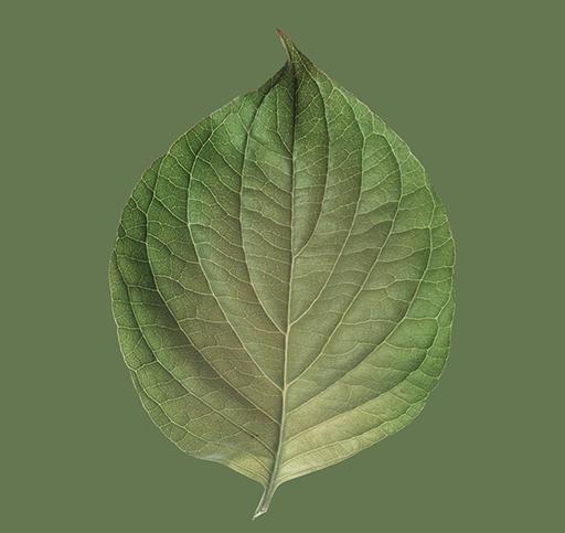 rose_leaf_C_v01.jpg