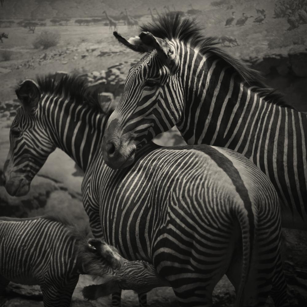 2013_July_NYC_Diorama_235_Zebra.jpg