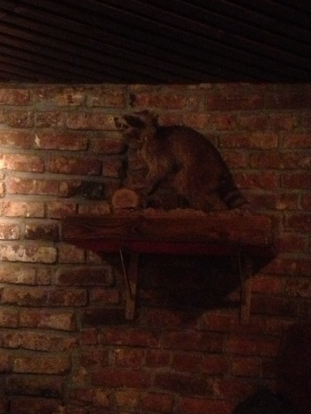 This raccoon was out at night, so it didn't have rabies. Also, it was dead.