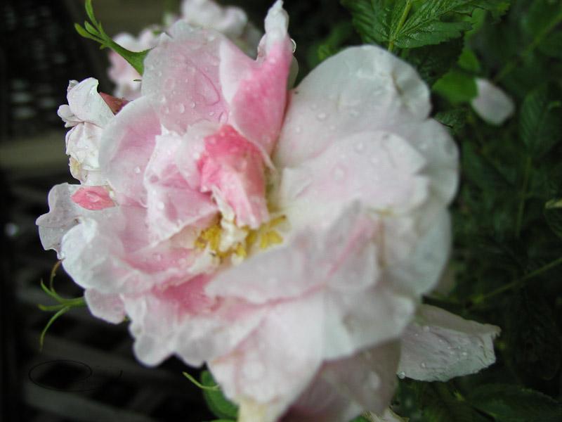 rainy rose-1.jpg