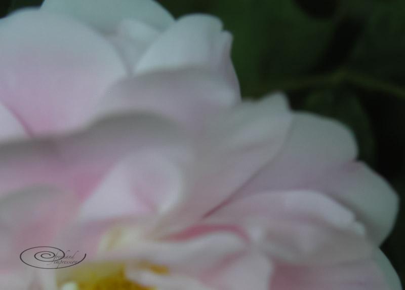 rosecrop blur-1.jpg