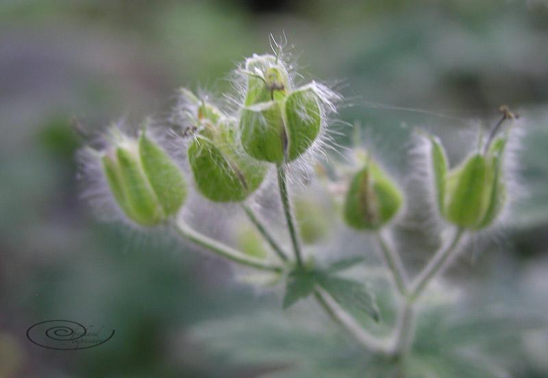 hairy seed pod-1.jpg