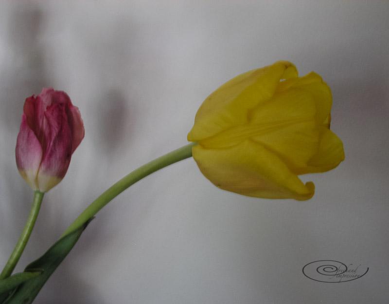 tulips -1.jpg