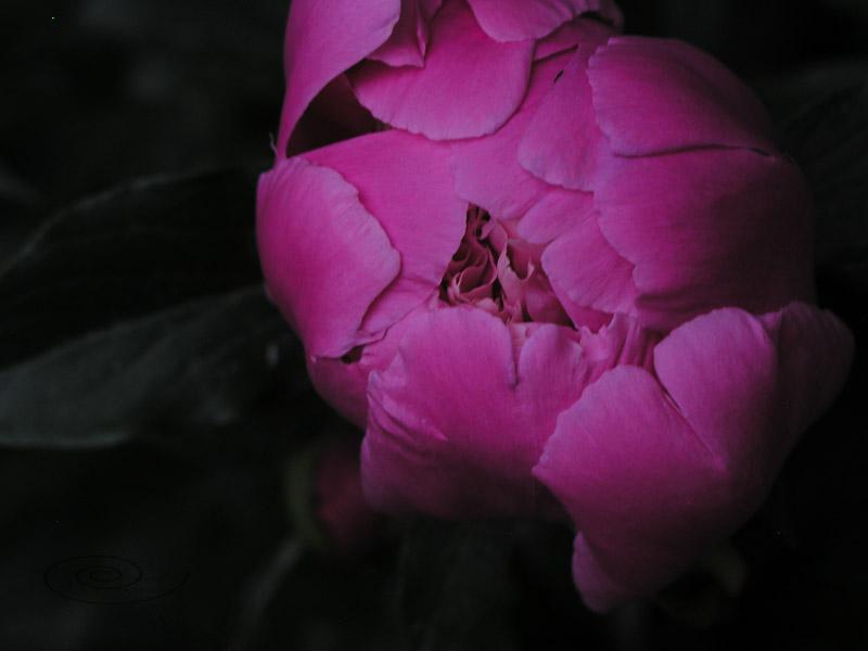 peony colour-1.jpg
