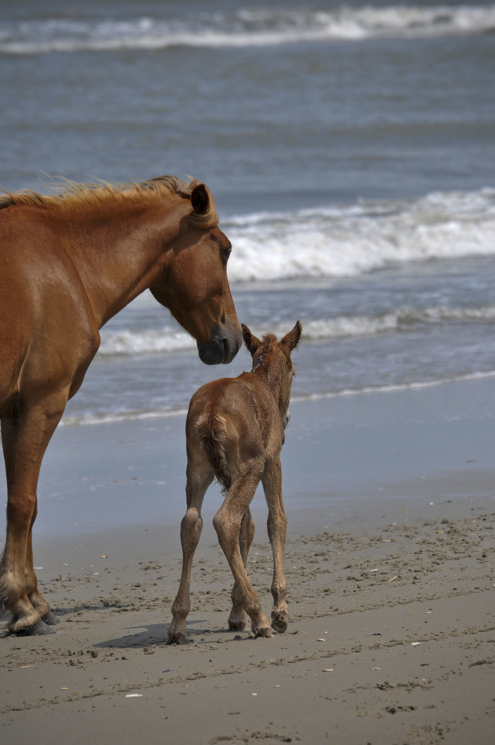 Corolla wild pony and hours old foal