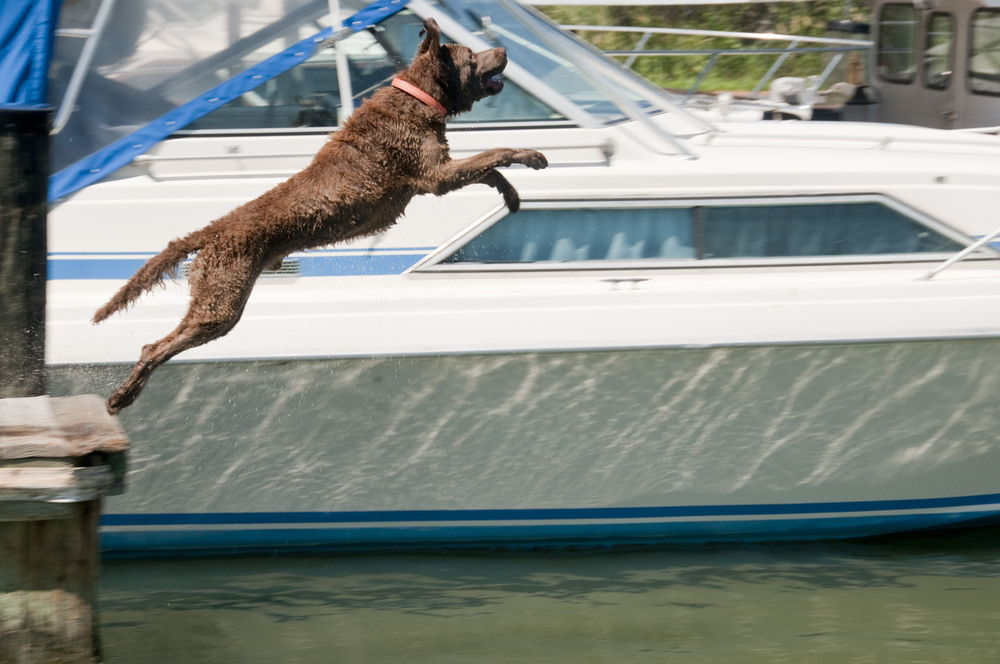 leaping Chesapeake Bay Retriever