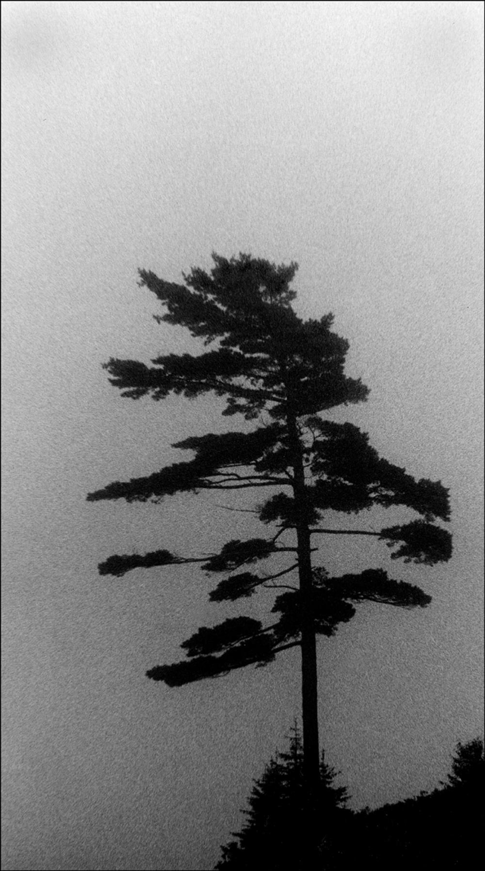 'ship ahoy' pine