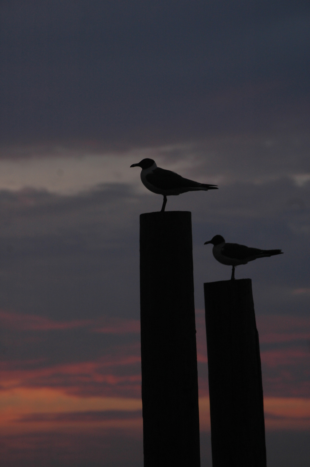 gulls at night