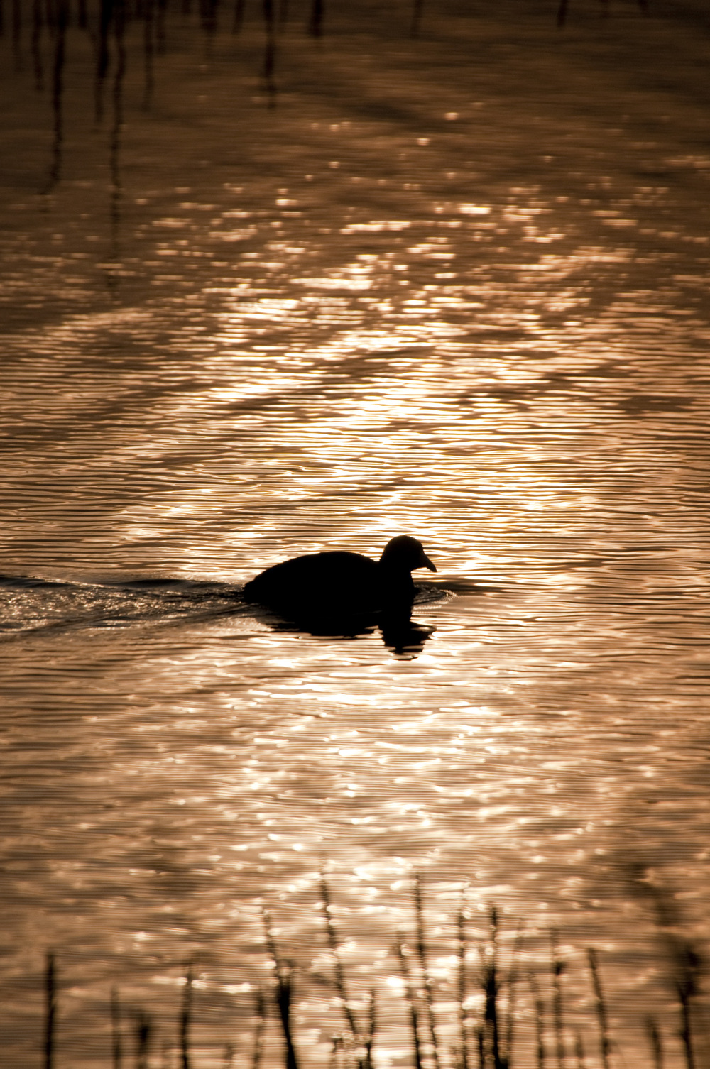 coot silhouette