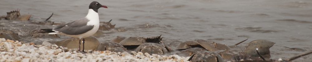 gull and horseshoe crabs