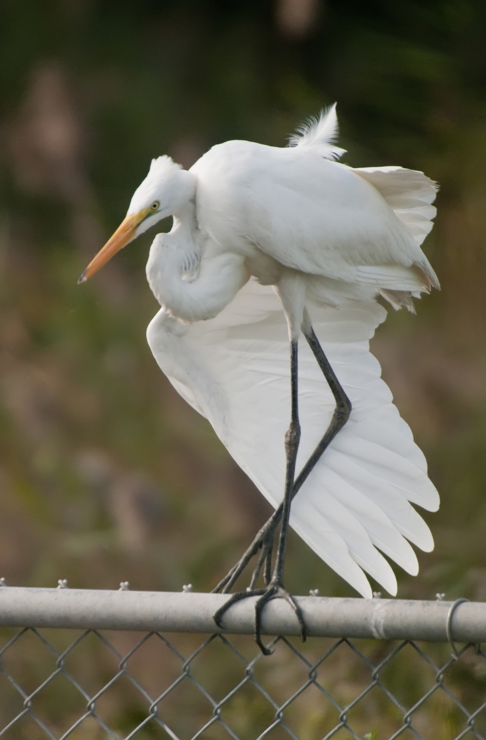 great white egret grooming