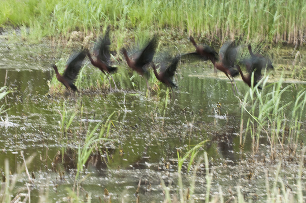 glossy ibises take flight