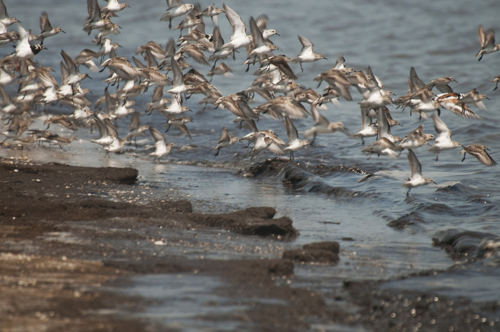 sanderlings take flight