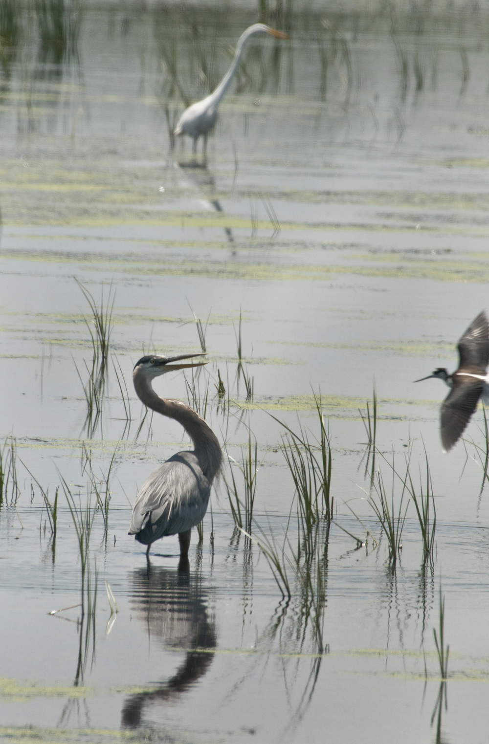 heron, egret and avocet