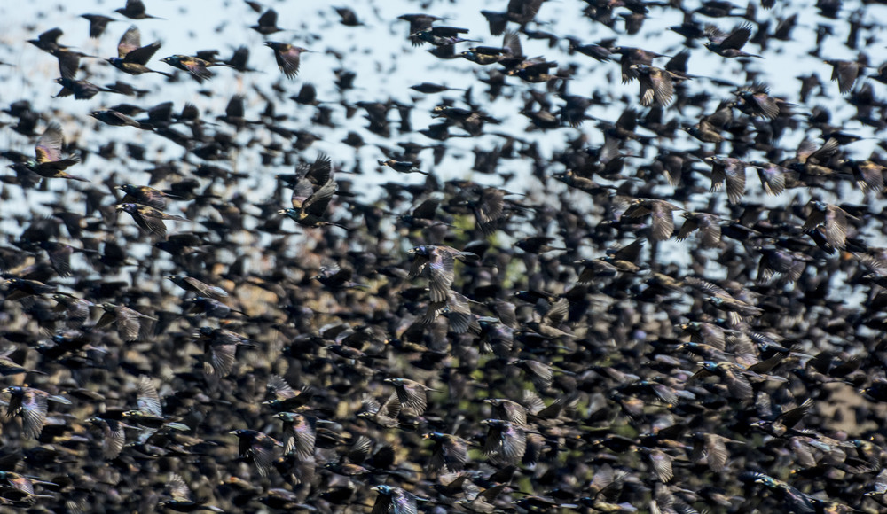 Enormous blackbird flock near Dover, De.