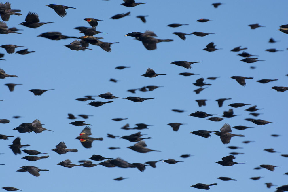 blackbird flock in flight