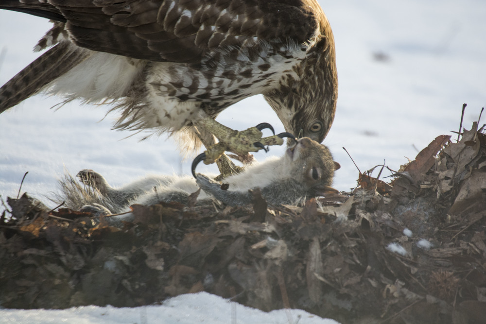 Hawk and prey