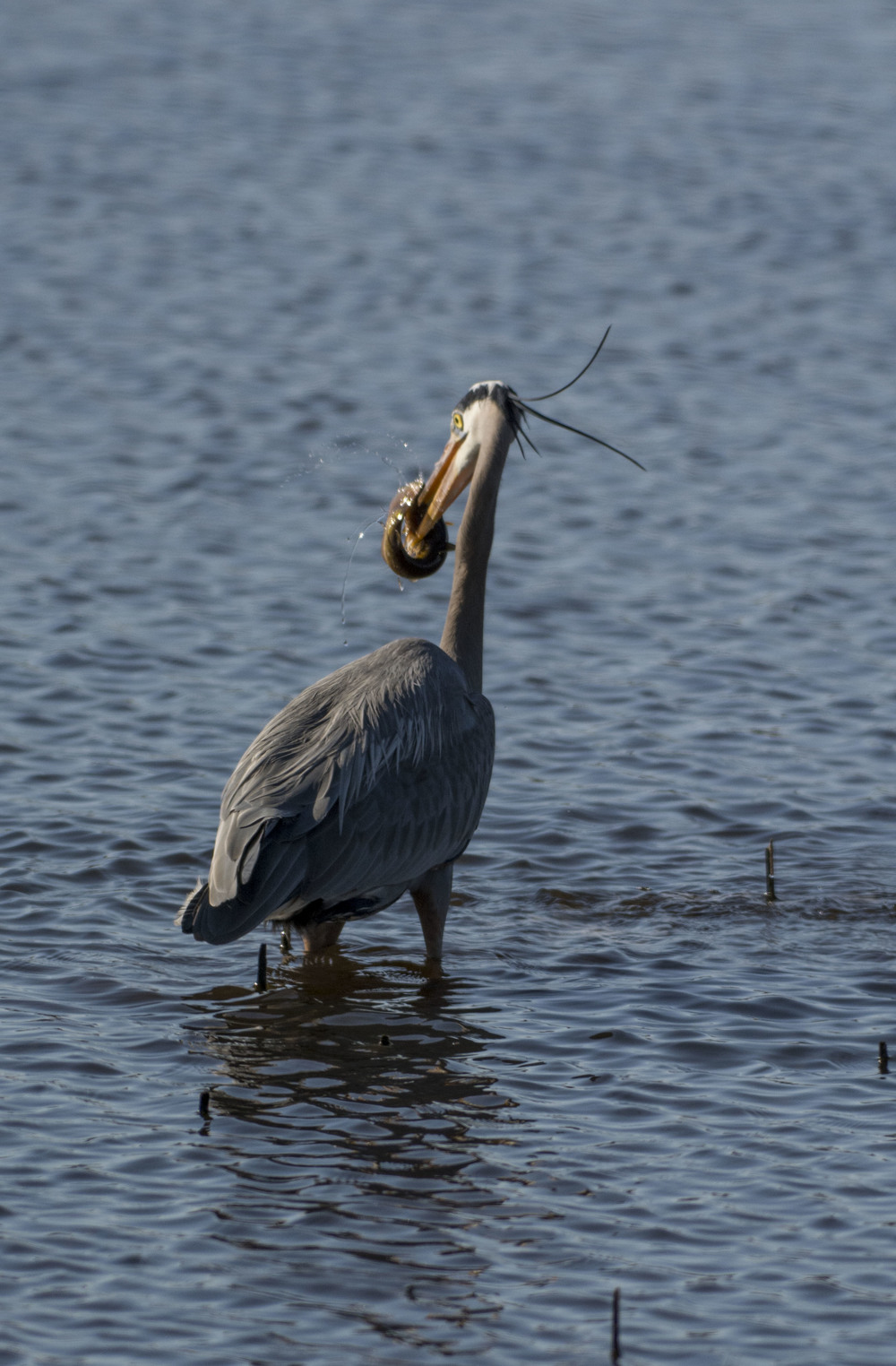 blue heron with dinner