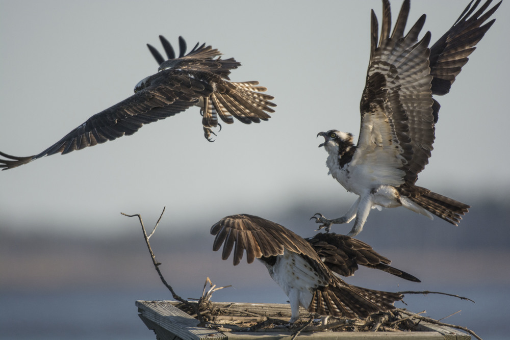 ospreys defending nest